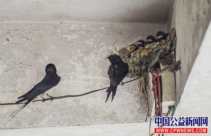 小燕子成长的故事 - 动物保护