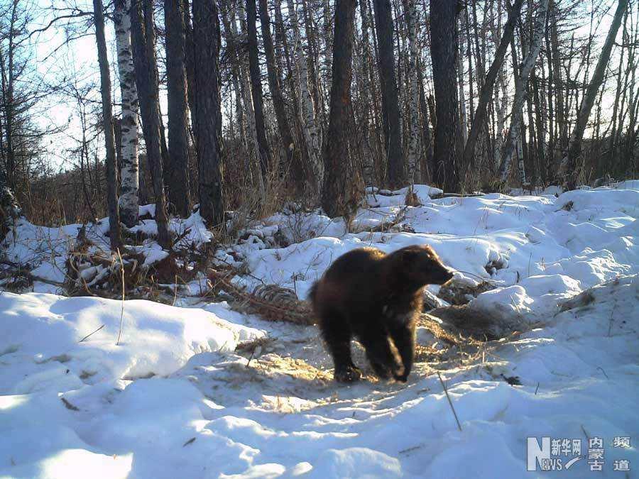 大兴安岭地区拍摄到国家一级保护动物貂熊活动影像