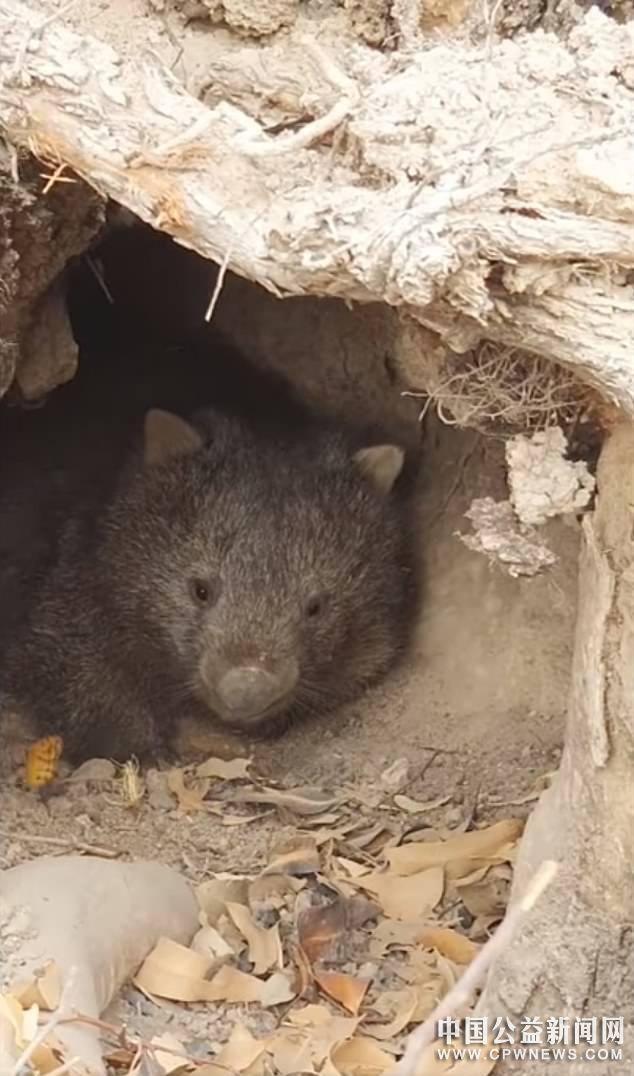 利用洞穴躲避大火、还不忘救其他小动物,澳大利亚袋熊火了
