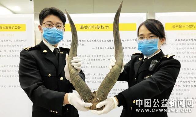 厦门口岸多次查获旅客携带动物头骨或角类入境