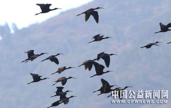 云南江川发现规模较大彩鹮种群 曾被宣布在国内绝迹