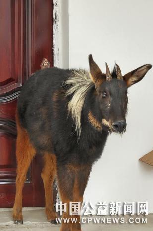 青海达日:国家重点保护动物被困室内 警民联手成功救助