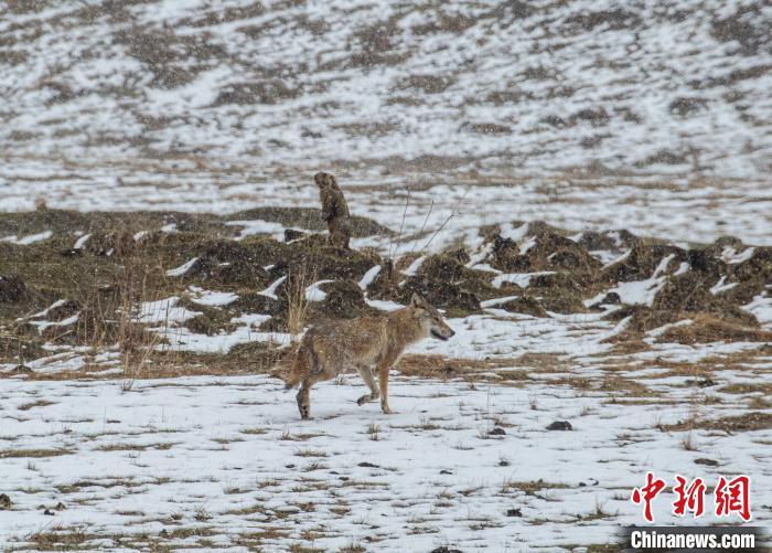 四川首个狼生态保护监测站在若尔盖成立
