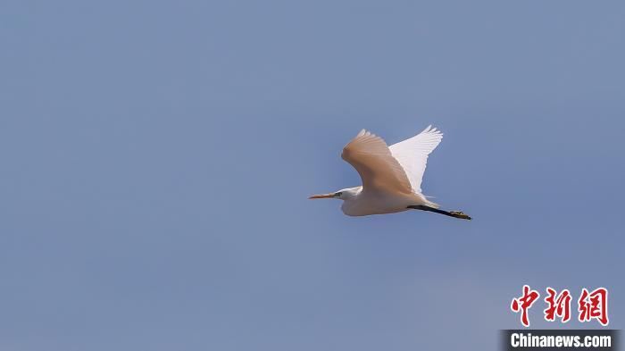 广东启动黄嘴白鹭等珍稀水鸟同步调查