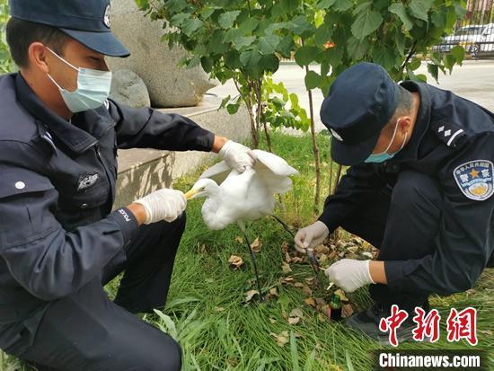 新疆边境民警救助濒危国家二级野生保护动物黄嘴白鹭