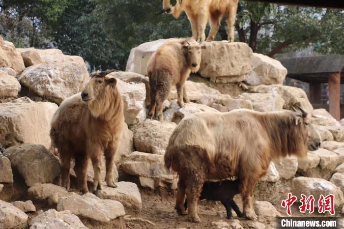 杭州野生动物世界迎来牛年首只国宝金毛羚牛